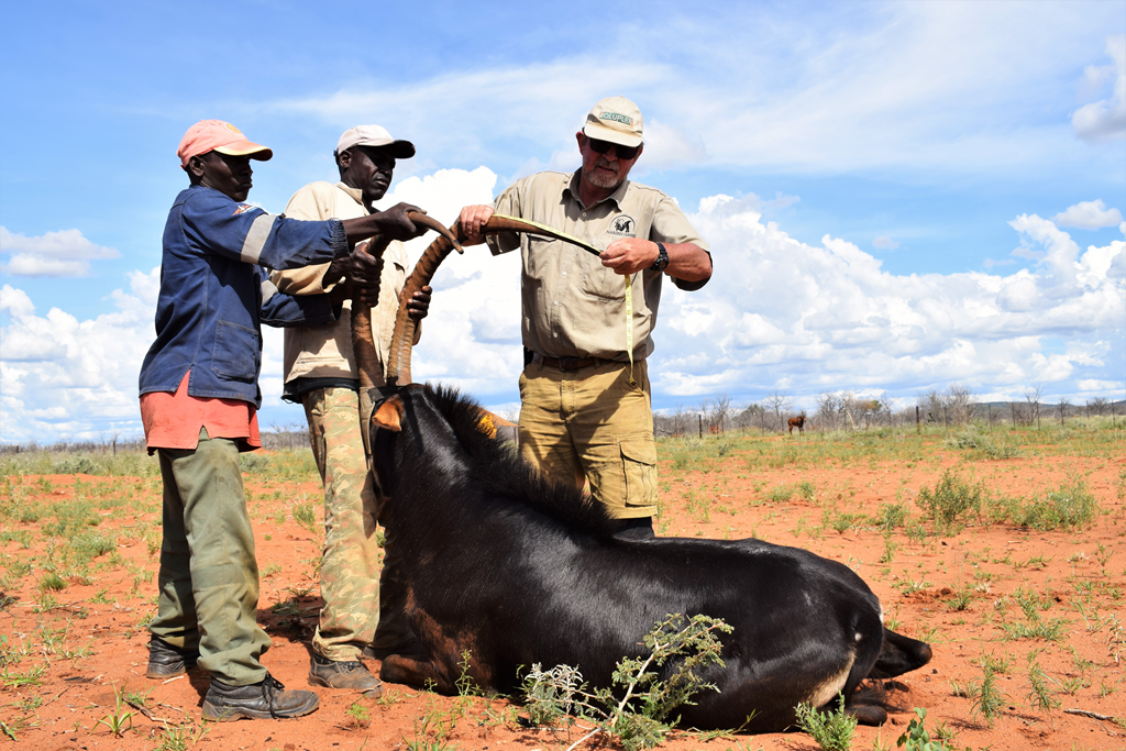 Sable bull_Measuring horns_Wildlife Vets Namibia