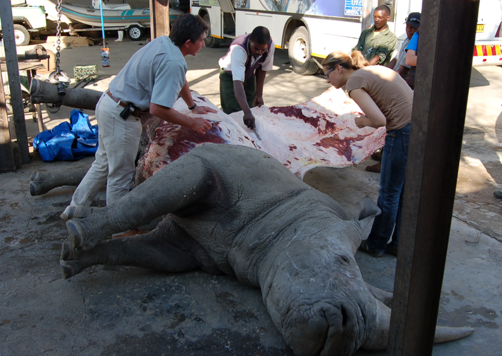 Post Mortem rhino_Wildlife Vets Namibia