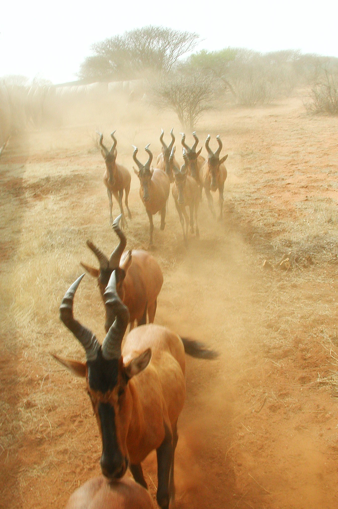 Boma capture_Red hartebeest_Wildlife Vets Namibia