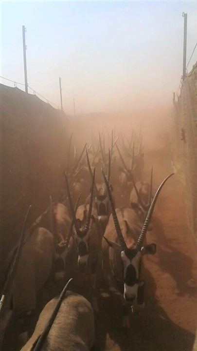 Boma capture_Oryx_Wildlife Vets Namibia